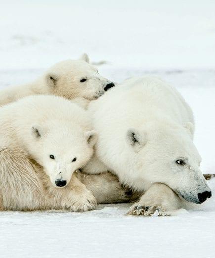 Lazy Bear 3